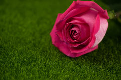 Rose of pink color lies Stock Images