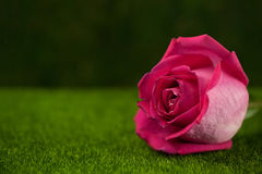Rose of pink color lies Stock Image