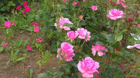 Rose pink color. In the summer garden stock video footage