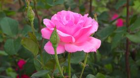 Rose pink color. In the summer garden stock video