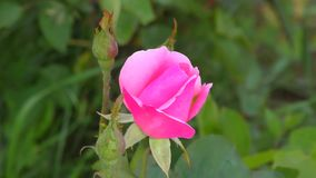 Rose pink color. In the summer garden stock footage