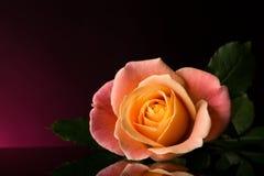 Rose Pink en Geel Romantisch nam toe Multicolored geïsoleerd op Zwarte en purpere achtergrond stock fotografie
