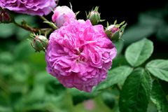 Rose, Pink, Filled, Blossom, Bloom Royalty Free Stock Photos
