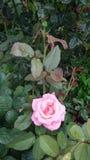 Rose Pink Flower Fotografía de archivo libre de regalías