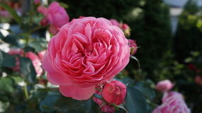 Rose Pink Flower imagem de stock