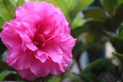 Rose Pink Flower with Blurred royalty free stock photography