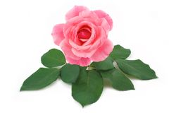 Rose pink flower isolated Royalty Free Stock Photos