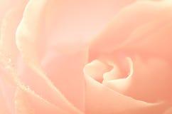 Rose pink flower macro Royalty Free Stock Images