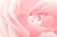 Rose pink flower macro Royalty Free Stock Image