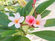 Rose-pink frangipani Flower. Three rose-pink frangipani Flower stock images