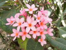 Rose-pink frangipani Flower. Tropical flower Stock Images