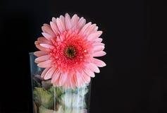 Rose Pink Gerbera With Water-Dalingen stock foto
