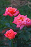 Rose. A pink rose with green leafs Royalty Free Stock Image