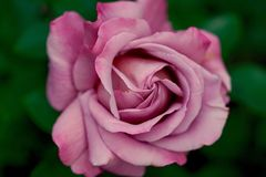 Rose, Pink, Nature, Leaves, Form Stock Photos
