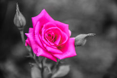 The rose Royalty Free Stock Photography