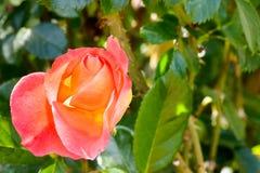 Orange pink and yellow Rose. Pink and orange silk bud of rose royalty free stock photo