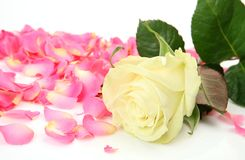 Rose and pink petals. On a white background stock photo
