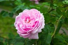 Rose Pink Stock Photo