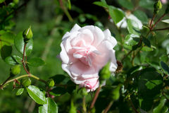 Rose Pink Stock Photography