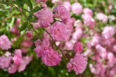 Rose, Pink, Rose Flower, Floribunda Stock Photography
