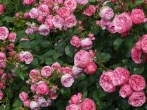 Rose, Pink, Rose Flower, Roses Royalty Free Stock Photo