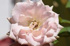 Rose, pink rose, nature, flowers, blur background, beauty flowers, beautiful, nature, wallpaper,. Pink rose flower, photography, naturephotography stock image