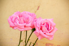 Rose pink Royalty Free Stock Images
