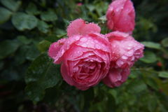 Rose pink wet Royalty Free Stock Photo