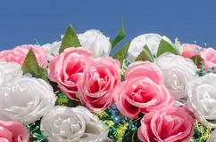 Rose. Pink and white rose with blue sky Royalty Free Stock Photos