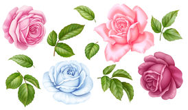 Rose pink white flowers green leaves isolated on white background. Floral set of pink, red, blue white vintage rose flowers green leaves isolated on white stock illustration