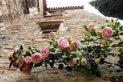 Rose plant on ancient wall stock image