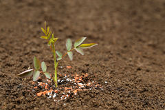 Rose plant in fertile soil with chemical fertilizer Stock Photography