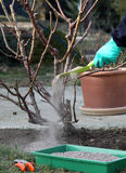 Rose plant fertilize and cutting. Rose care prunning and fertilize early in the springtime stock images