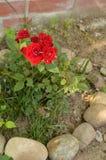 Rose Plant Gardening Arrangement con paisaje de las rocas Imagen de archivo