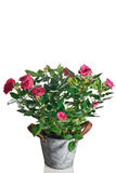 Rose plant in pot Stock Photo
