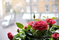 Rose plant with wet window in the background. The rose plant with wet window in the background Royalty Free Stock Photos