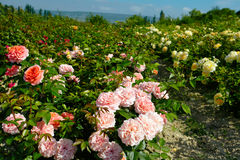 Rose plantation. In the valley against the backdrop of the mountains Stock Photos