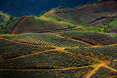 Rose plantations in the mountains Stock Images