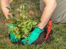 Rose planting. Female gardener planting rose shrub in the dug hole in her backyard garden Stock Photos