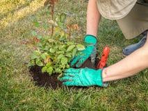 Rose planting Royalty Free Stock Image