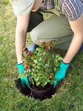 Rose planting Royalty Free Stock Photography