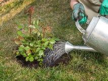 Rose planting Stock Image