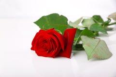 rose pnia długi obraz stock