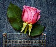 Rose in the pocket Stock Photography