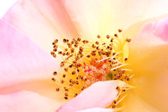 Rose pollens Stock Image