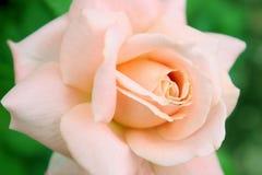 rose pomarańczy Zdjęcie Stock