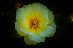 Rose `Popcorn Drift` Stock Images