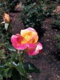 Rose por la mañana Foto de archivo libre de regalías