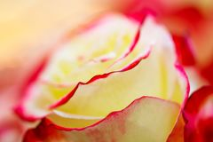 Rose postcard closeup abstract background Stock Photo