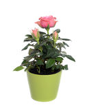 Rose in a pot. Stock Photo